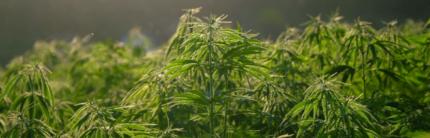 Marijuana, the Lesser of Two Evils?